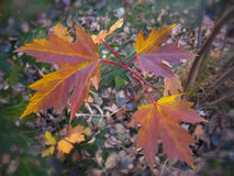 Autumn red maple leaves. Stock Images