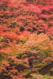 Autumn red maple tree in mountain Stock Photography