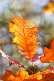 Autumn red oak leaf Royalty Free Stock Photos