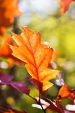 Autumn red oak leaf Royalty Free Stock Photo