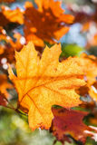 Autumn red oak leaf Stock Images