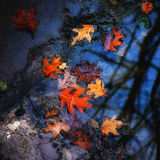 Autumn red oak leaves. In the street puddle Stock Image