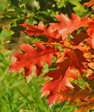 Autumn red oak leaves Royalty Free Stock Images