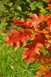 Autumn red oak leaves Stock Photography