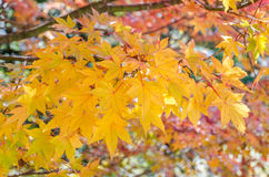 Autumn, red, orange and gold leaf Stock Photography