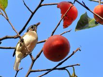 Autumn red persimmon attract many birds Royalty Free Stock Photo