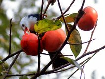 Autumn red persimmon attract many birds Royalty Free Stock Photography