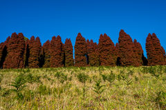 Autumn red pinetree Stock Photography