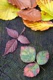 Autumn red raspberry leaf Royalty Free Stock Photos