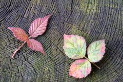 Autumn red raspberry leaf Stock Image