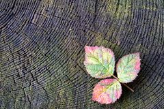 Autumn red raspberry leaf Royalty Free Stock Images