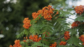 Autumn red rowan berries stock video footage