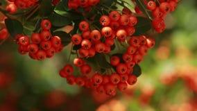 Autumn red rowan berries stock video footage