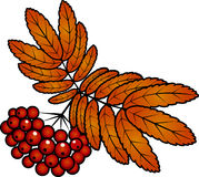 Autumn red rowan berries with leafs. Autumn rowan berries with leafs Royalty Free Stock Photo