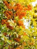 Autumn red rowan berries on tree. Stock Photo