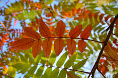 Autumn red rowan leaves on green nature background Stock Photography