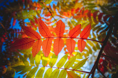 Autumn red rowan leaves on green nature background Royalty Free Stock Images