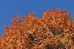 Autumn red rowan tree against the blue sky Royalty Free Stock Images