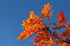Autumn red rowan tree against the blue sky Stock Image