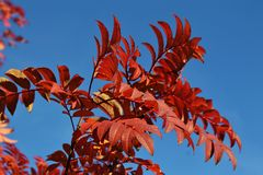 Autumn red rowan tree against the blue sky Stock Photography