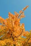 Autumn red tree Royalty Free Stock Photos
