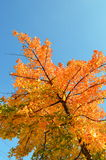 Autumn red tree Royalty Free Stock Images