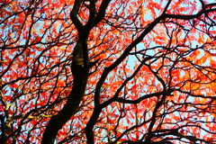 Autumn red tree Stock Images