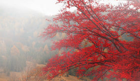 Autumn red tree in the morning mist Stock Photography