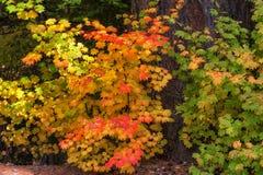 Autumn Red Vine Maple Leaves lizenzfreie stockfotografie