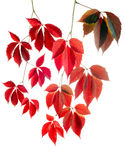Autumn red vines. Falling red vines branches autumn decoration Royalty Free Stock Photo