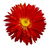 Autumn red-yellow Aster flower on a white isolated background with clipping path. Flower for design, texture,  postcard, wrapper. Closeup.  Nature Royalty Free Stock Images
