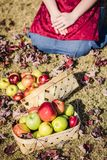 Autumn Red, Yellow and Green Apples royalty free stock images