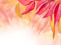Autumn red and yellow leaves. On a blurred background Stock Photo