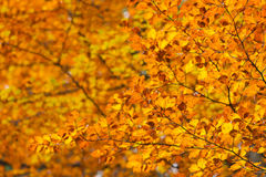 Autumn red and yellow leaves background Royalty Free Stock Images