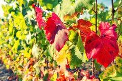 Autumn red yellow leaves grape vine plant Vintage toned. Autumn red yellow leaves on the grape vine plant. Vintage style toned picture stock photo
