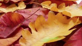 Autumn red and yellow leaves. Yellow and red autumn leaves on rotating plate, close-up stock video footage