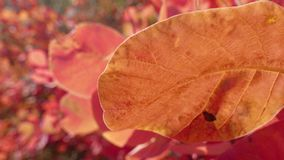 Autumn red and yellow leaves. Sprig with yellow and red leaves in sunlight in autumn stock footage