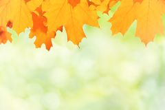 Autumn red and yellow maple leaves. On blur green background Stock Image