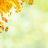 Autumn red and yellow maple leaves. On blur sunny background Stock Photography