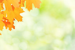 Autumn red and yellow maple leaves. On blur sunny background Stock Photos