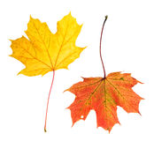 Autumn red yellow maple leaves isolated  white background. Autumn red and yellow maple leaves isolated on white background Stock Photos
