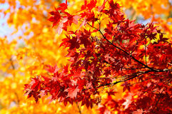 Autumn Redness Royalty Free Stock Photography