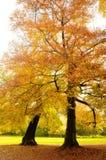 Autumn reds. Golden trees in a park in full autumn splendor Royalty Free Stock Image