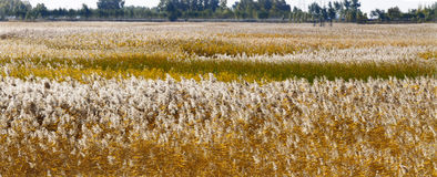 Autumn reed Stock Photos