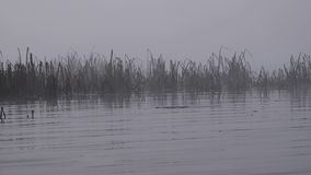 Autumn reed or cane in morning fog. Calm and silent river or lake under thick fog. Close up view horizon not visible. Wind blow foggy clouds. Sad or mysterious stock footage