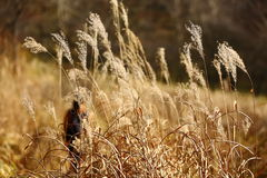Autumn Reed. Girl walking behind reeds.Very warm feeling Stock Images