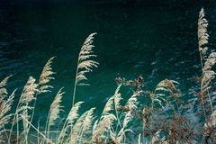Autumn reed lakeside warm contrast. In autumn, the reeds on the lakeside are unusually beautiful. The warm yellow reeds are in sharp contrast with the blue lakes royalty free stock photography