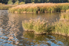 Autumn reed Royalty Free Stock Photography