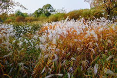 The autumn reed Royalty Free Stock Photos