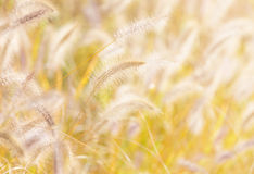 Autumn reed under sunlight Royalty Free Stock Image